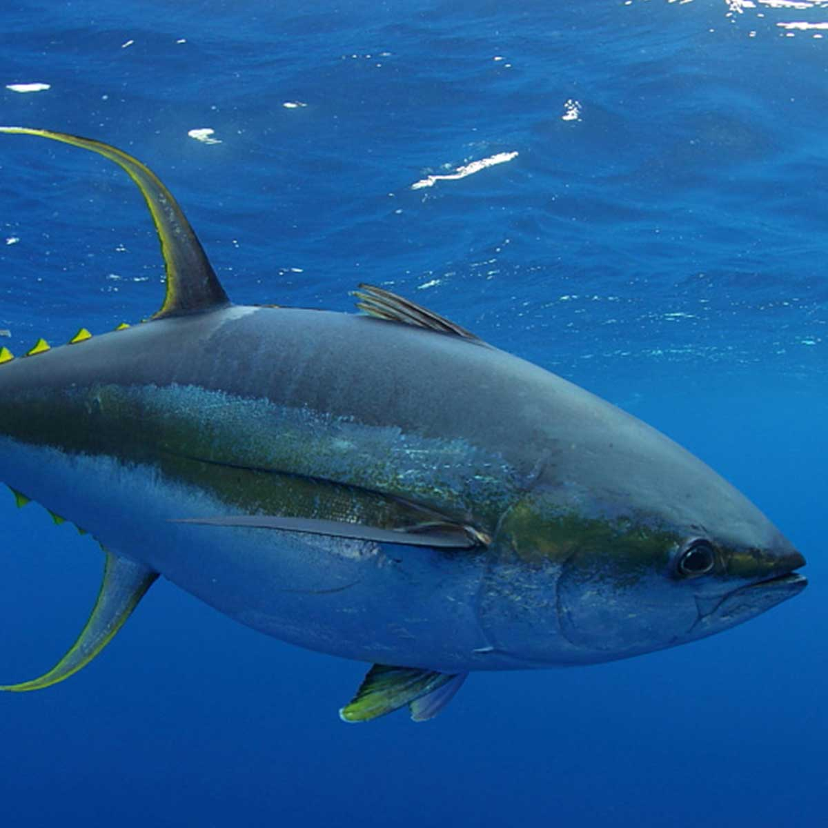 Yellowfin Tuna in Cabo